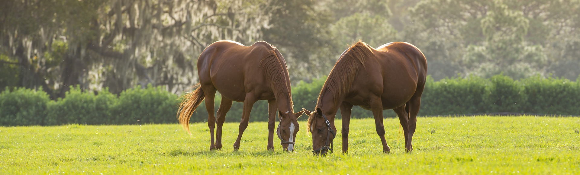 Horses grazing in a field in Sorrento Florida
